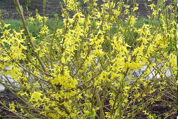 FORSYTHIA x intermedia Minor Gold Cov