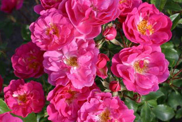 ROSA Rekord® Pink Emely® Korselary
