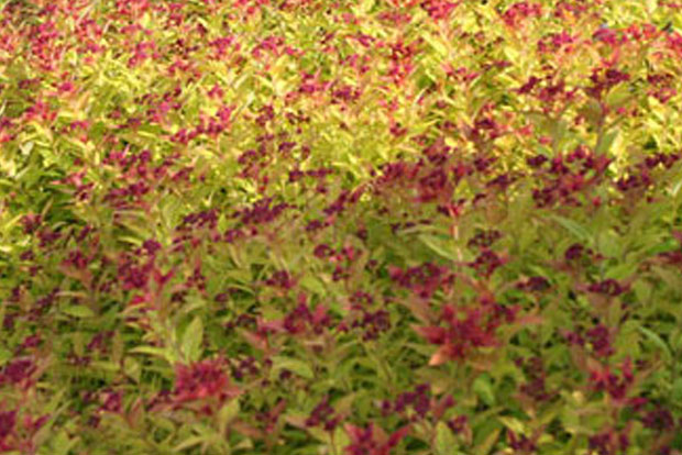 SPIRAEA japonica Magic Carpet Walbuma