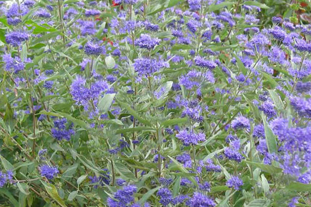 CARYOPTERIS x clandonensis Heavenly Blue