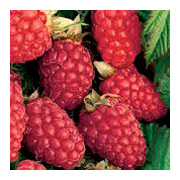 Rubus Thornless Loganberry